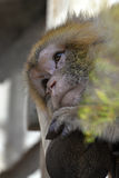 Унылая задумчивая зеленая обезьяна Стоковая Фотография RF