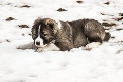 Унылая кавказская собака чабана стоковые фотографии rf