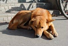 Унылая красная ложь собаки стоковые изображения rf