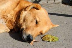 Унылая красная ложь собаки Стоковые Фото