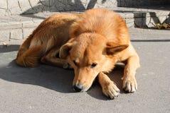 Унылая красная ложь собаки стоковые изображения