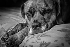 Унылая милая собака положенная на кровать Стоковые Изображения