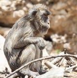 Унылая обезьяна стоковое фото rf