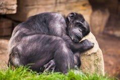 Унылая обезьяна Стоковая Фотография