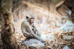 Унылая обезьяна Стоковое Изображение RF