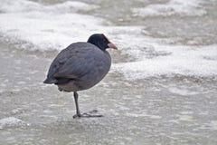 Унылая простофиля на пруде таянном льдом Стоковые Фото
