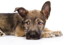 Унылая смешанная собака породы белизна изолированная предпосылкой Стоковая Фотография