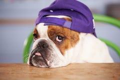 Унылая смотря бейсбольная кепка великобританского бульдога нося Стоковая Фотография