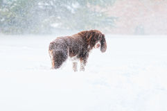 Унылая снежная собака Стоковое Изображение