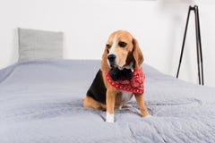 Унылая собака бигля в красном bandana Стоковое Изображение RF
