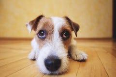 Унылая собака лежа на поле дома Стоковое фото RF