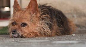 Унылая собака Стоковое Изображение