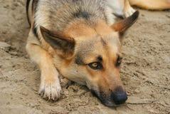 Унылая собака на песке Стоковые Изображения RF
