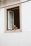 Унылая собака смотря из окна Стоковое фото RF
