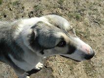 Унылая собака Alabai Стоковые Фото