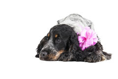 Унылая собака spaniel кокерспаниеля стоковые фотографии rf