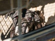 Унылая старая собака за решеткой, в клетке Стоковое Изображение RF