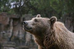 Унылое рыльце бурого медведя в лесе Стоковое Фото