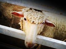 Унылые смотря овцы стоковая фотография