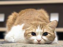 Унылый кот Стоковые Фото