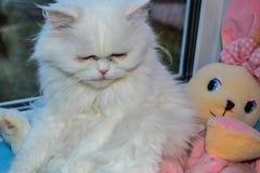 Унылый пушистый персидский кот Стоковые Изображения