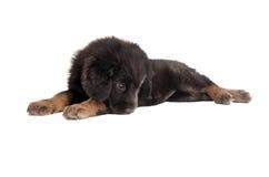 Унылый пушистый щенок Стоковая Фотография RF