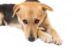 Унылый щенок Стоковая Фотография