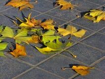 упаденная осень выходит клен Стоковое Изображение