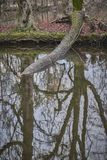 Упаденное дерево, выкорчеванное и исчезанное в воде стоковое изображение rf