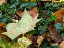 Упаденное дерево выходит в сезон осени стоковое изображение rf