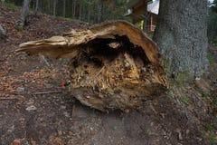 Упаденное дерево в швырке будущего леса стоковые изображения