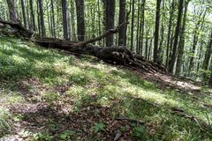 Упаденное дерево после мощной молнии на пути к хате stena Kozya Стоковые Изображения