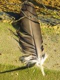 Упаденное перо хищника стоковое фото rf