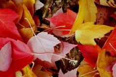 Упаденные живые листья дерева красного цвета и золота Стоковая Фотография