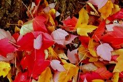 Упаденные живые листья дерева красного цвета и золота Стоковое Фото