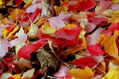 Упаденные живые листья дерева красного цвета и золота Стоковые Фотографии RF