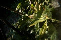Упаденные зеленым цветом лист марихуаны Стоковые Изображения