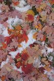 Упаденные кленовые листы в других цветах Стоковое фото RF