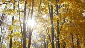 Упаденные кленовые листы лежат в парке города в осени Падение лист в лес в солнечном дне Красивая природа для предпосылки сток-видео