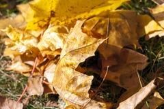 Упаденные кленовые листы стоковые фотографии rf