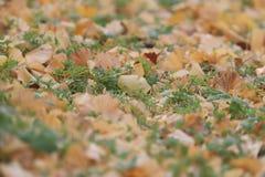 Упаденные листья гинкго Стоковая Фотография