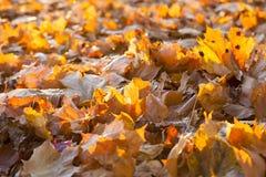 Упаденные листья клена стоковые изображения