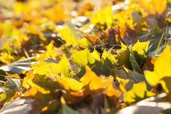 Упаденные листья клена стоковая фотография