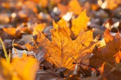 Упаденные листья клена стоковое изображение