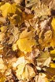 Упаденные листья клена стоковая фотография rf