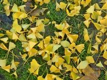 Упаденные листья Ginkgo Стоковое Изображение RF