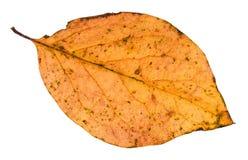упаденные лист дерева тополя изолированные на белизне Стоковые Фотографии RF