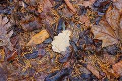 Упаденные лист дуба с падениями Стоковые Изображения
