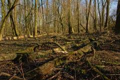 Упаденные стволы дерева на поле леса Стоковые Фотографии RF