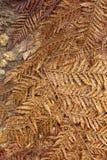 Упаденные сухие fronds папоротника дерева Стоковая Фотография